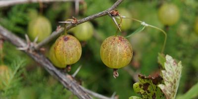 Каждый год ягоды крыжовника погибают, не успев созреть. Что за напасть?