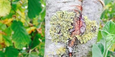 Нужно ли бороться с лишайником на плодовых деревьях?