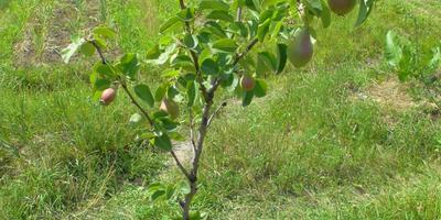 Нужно ли обрывать плоды у молодой груши, чтобы они не отнимали силы у дерева?