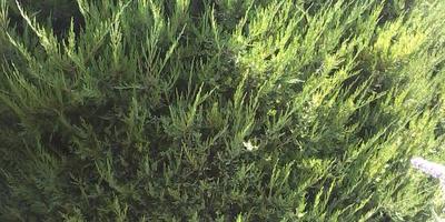 Помогите определить вид можжевельника и расскажите, как правильно его выращивать для живой изгороди