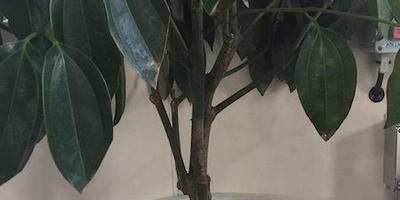 Гибнут комнатные растения. Помогите определить их название и понять, как им помочь