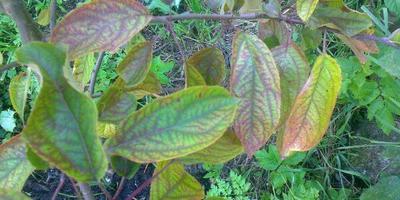 Что с молодой яблоней и чем это лечить?