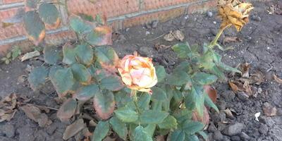 У меня чем-то болеют розы. Что за болезнь и чем лечить?
