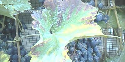 В период созревания кисти винограда начинают морщиться и усыхают. Какова причина?