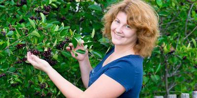 Секреты заготовок из черноплодной рябины