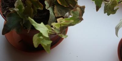Цветок резко начал сохнуть. Что делать? Как оживить его?
