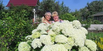 Посоветуйте, как лучше подвязывать цветущие побеги древовидной гортензии?