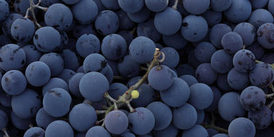 Амурский виноград - гость с Дальнего Востока
