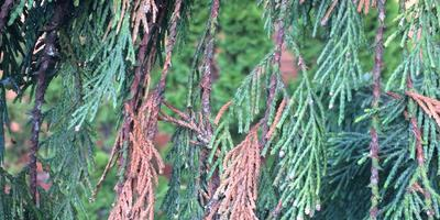 У туи пожелтели внутренние ветки, затем верхушка, зеленые ветки стали тусклыми и покрылись мелкими шишечками. Что делать?