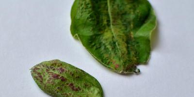 С обратной стороны листьев яблонь и груш появились пятна, с лицевой - листья бугрятся и деформируются. Что делать?