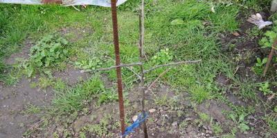 Яблоня живая, но не развивается, листья не выпускает. Что делать?