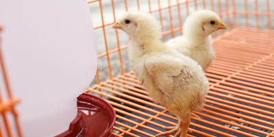 Что такое брудер для цыплят и зачем он нужен
