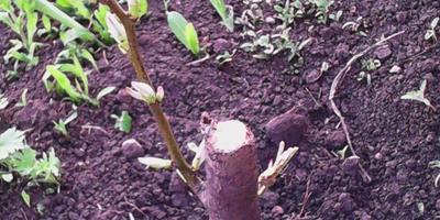 Подскажите, что делать с этой грушей? Оставить ее или проще посадить новую?