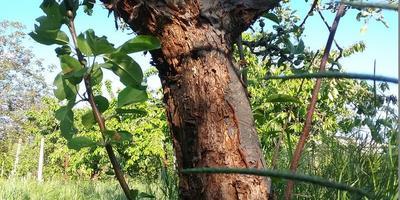 Помогите найти причину поражения яблонь
