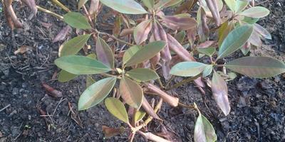 Почему после зимы почти все листья на рододендроне скрючились, порыжели, и только одна из ветвей выглядит нормально?
