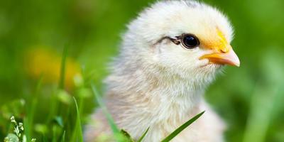 Сочный корм для цыплят