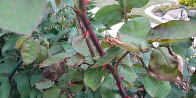 Второй год у роз листья засыхают с краю. Что делать?