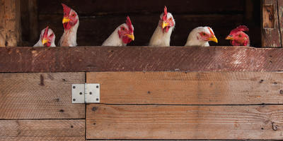 Как уберечь цыплят от напастей