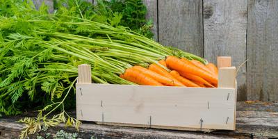Болезни моркови. Как сохранить урожай в погребе