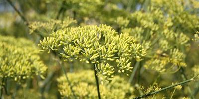 Анис в огороде: выращиваем библейскую траву молодости