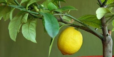Как в домашних условиях научиться выращивать лимон?