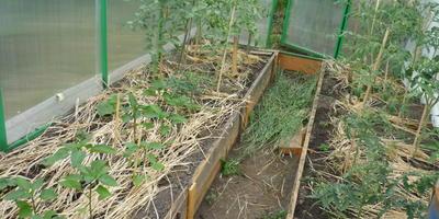 Мой дебют! Или первый опыт выращивания овощей в теплице