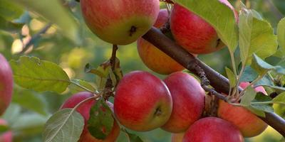 Какими  вкусными яблоками побаловать себя зимой