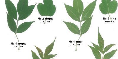 Помогите идентифицировать дерево по листьям