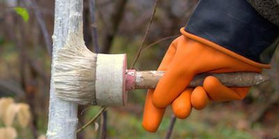 Как правильно побелить деревья в саду