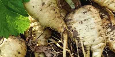 Возвращение «белого корня», или Как вырастить пастернак