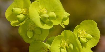 Садовые виды молочая: посадка, выращивание, уход