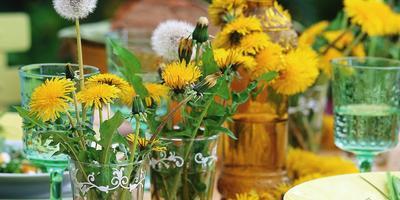 Одуванчик золотой: полезные свойства и рецепты
