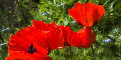 Маки в саду: опасная красота