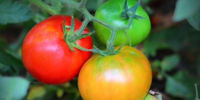 """Победим фитофтору: выбираем """"правильные"""" сорта томатов"""