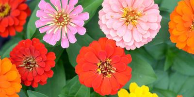 Циннии: праздник цвета