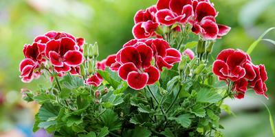 5 шагов успешного черенкования пеларгонии