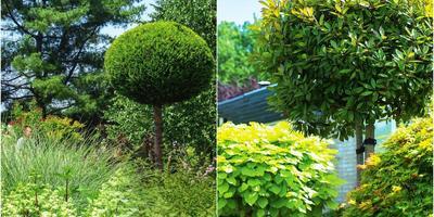 Компактные деревья с шаровидной кроной