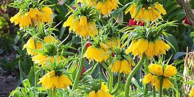 Поселите в саду солнце: растения с цветами и листьями желтого цвета
