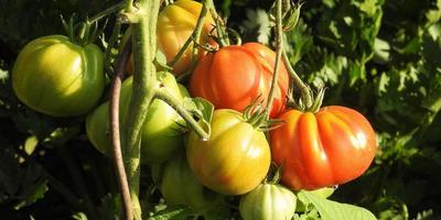 Сорта томатов для Средней полосы России: мой многолетний опыт