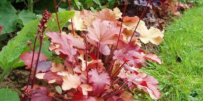 Гейхера - украшение любого сада!