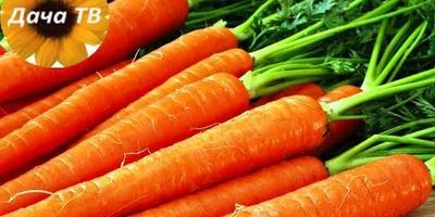 Как выбрать сорт моркови и чем ее удобрять?