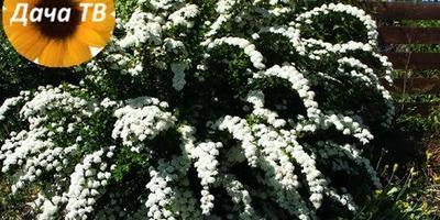 Как размножать растения? Зеленое черенкование на примере спиреи.