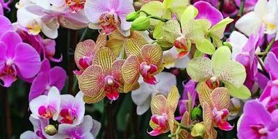 Комнатная орхидея: виды, история, выращивание, уход