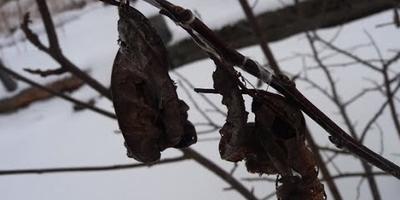 Как уберечь деревья зимой? И защитить их от вредителей?
