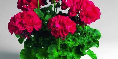 Как выбрать семена цветов и посадить их?