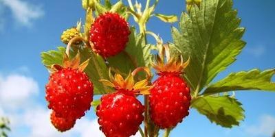 Как собрать максимальный урожай земляники?