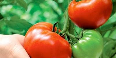 Все о томатах. Выращивание помидоров в открытом грунте и в теплице