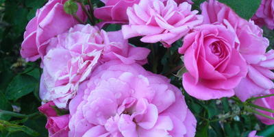 Розы - королевы сада!