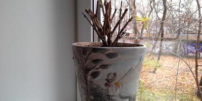 Базилик на подоконнике. Будут зимой листики для питания?
