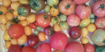 Синьорки-помидорки